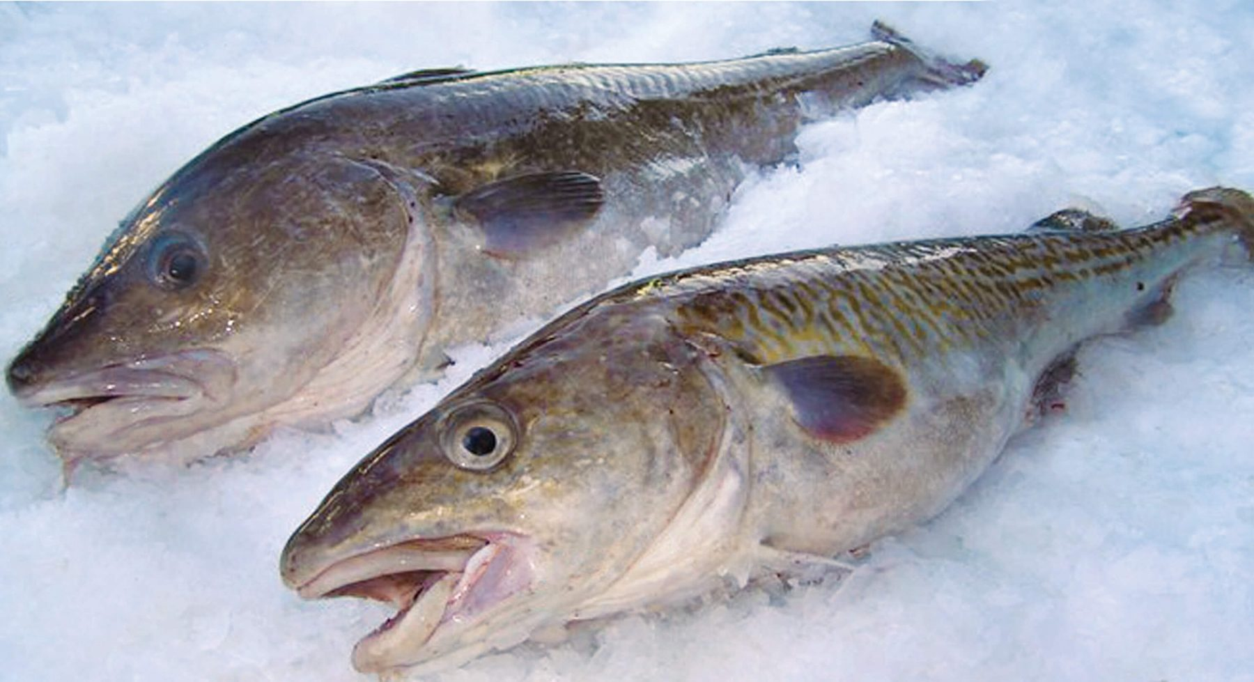 Pacific Cod: Other Total Cod Information